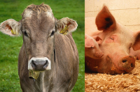 cessione bovini suini 2019 Iva